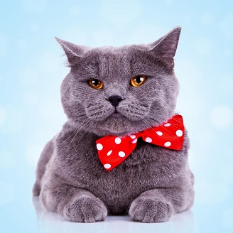 bigstock-bored-big-english-cat-with-red-28574120_smaller